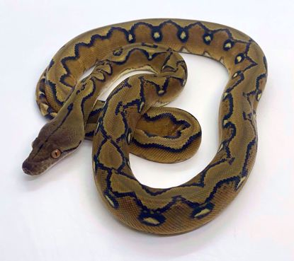 "Picture of Super Sunfire ""Baby Female"""
